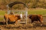 Kühe am Futtertrog
